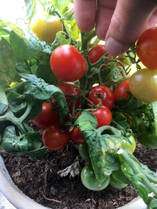 planta casera tomates cherrys .jpg